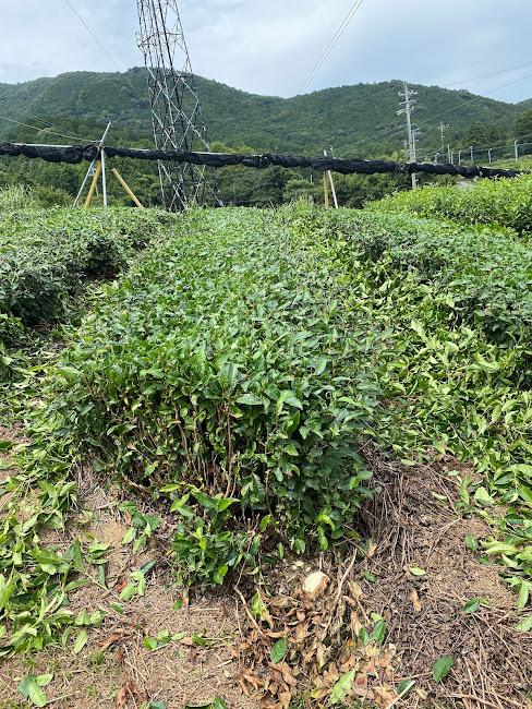 茶畑刈り落とし後