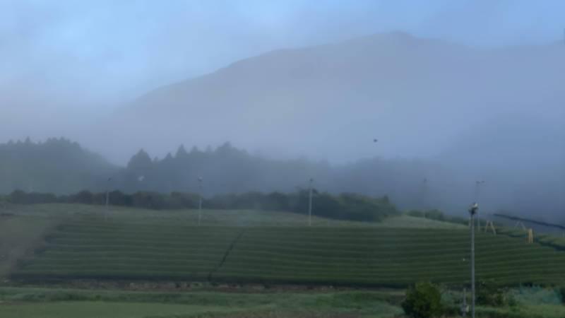 朝霧の茶畑